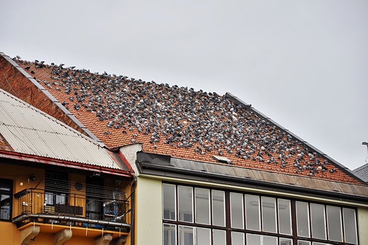 A2B Pest Control are able to install spikes to deter birds from roofs in Twickenham.